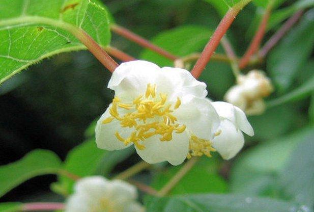 Silvervine Flower